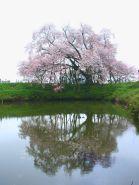 web_sakura.jpg